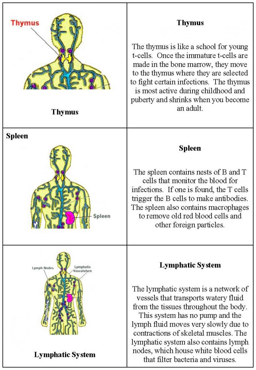 Workbooks lymphatic system worksheets : Immune System Memory Game | Center for Nanoscale Science